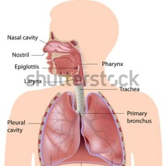 Human Ear Diagram Labeled 1998 Subaru Forester Wiring Respiratory System Stock Illustration 119606584 - Shutterstock