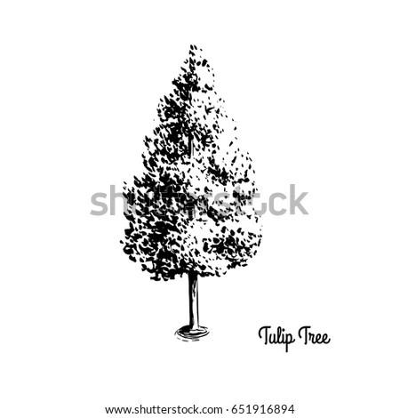 Vector Sketch Illustration American Tulip Tree Stock