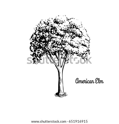 American Elm Stock Images, Royalty-Free Images & Vectors