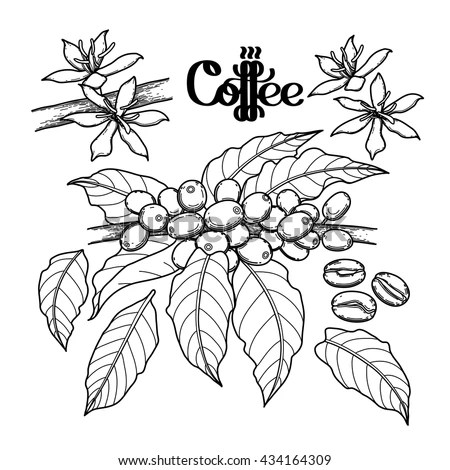 Coffee Plant Stock Images, Royalty-Free Images & Vectors