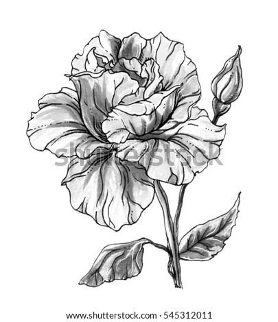 White Rose Flower Blossom Botanical Retro Stock