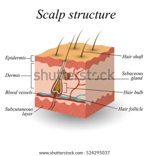 Structure Hair Scalp Anatomical Training Poster Stock