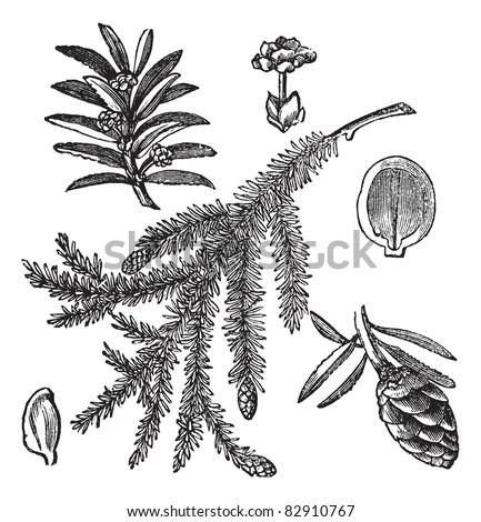 Hemlock Tree Stock Images, Royalty-Free Images & Vectors