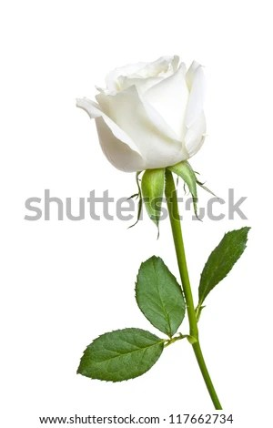 single white rose hd images wallpaper images