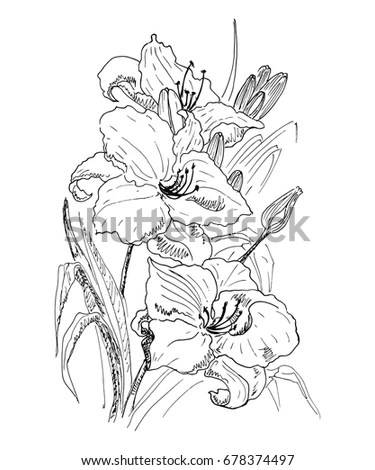 Garden Lilies Flowers Leaves Buds Sketch Stock Vector