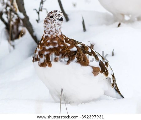 Willow Ptarmigan Stock Images Royalty Free Images Amp Vectors Shutterstock