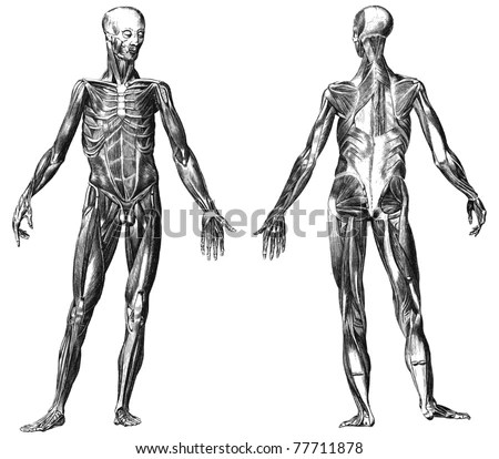 Anatomy Drawing Stock Images, Royalty-Free Images
