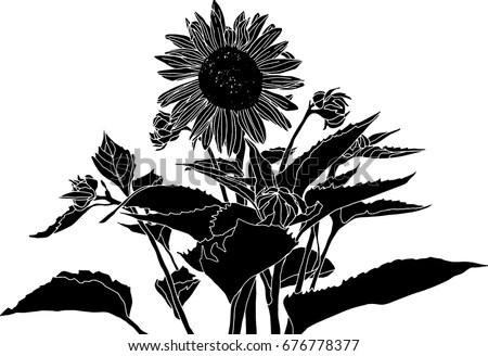 elegant black white sunflower vector
