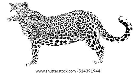 Far Eastern Leopard On White Background Stock Vector