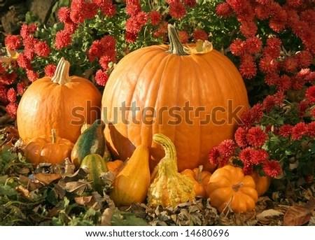 pumpkins lantana stock 18451210