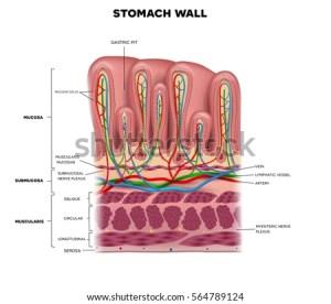 Stomach Wall Layers Detailed Anatomy Beautiful Stock