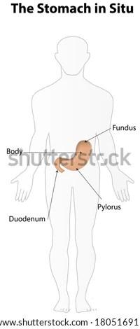 Foot Muscles Tendons Anatomy Leg Foot Stock Vector