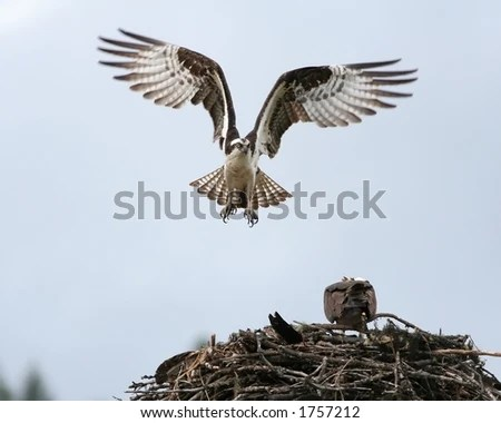 Osprey Flight Stock Photo 1599677 Shutterstock