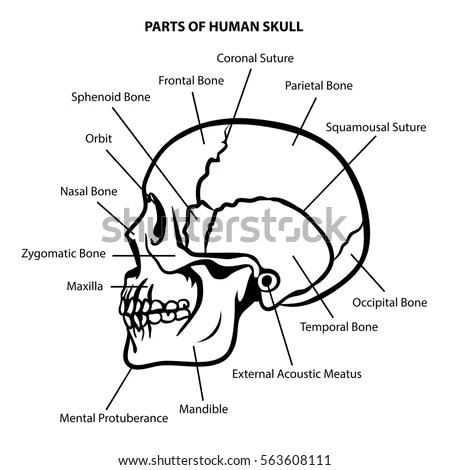 Zygomatic Stock Images, Royalty-Free Images & Vectors