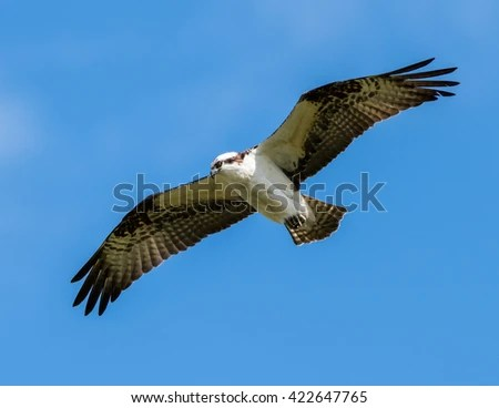 Flying Osprey Fish Stock Photo 410461363 Shutterstock