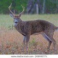 White tailed deer in cades cove part of the smoky mountains stock