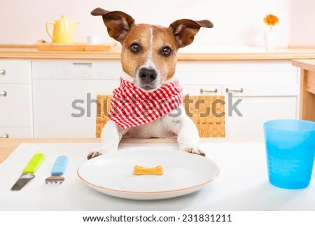 stock photo jack russell dog sitting at table ready to eat a an almost empty plate as diet light meal 231831211