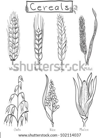 Cereals Handdrawn Illustration Wheat Barley Rye Stock