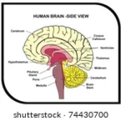 Lower Brain Diagram 2001 Honda Civic Stereo Wiring Vector Human Side View Stock Royalty Free 74430700 Shutterstock