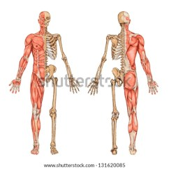 Skeletal System Anterior View Diagram Free Energy Reaction Coordinate Human Skeleton Posterior Didactic Stock Vector 131620085 - Shutterstock
