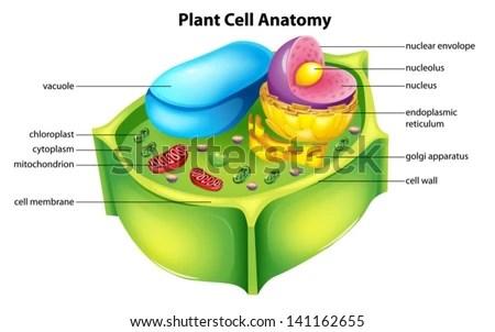 endoplasmic reticulum animal cell diagram mazda protege wiring illustration showing plant anatomy stock vector 141162655 - shutterstock