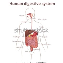 Pancreas Anatomy Diagram 3 Way Lighting Wiring Uk Location Gastrointestinal Tract Body Human Digestive Stock Vector 574261375 - Shutterstock