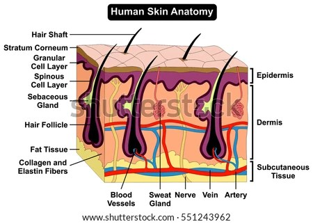 dermis layer diagram auto starter motor wiring royalty free stock illustration of human skin anatomy cross section anatomical figure with all layers epidermis subcutaneous tissue hair