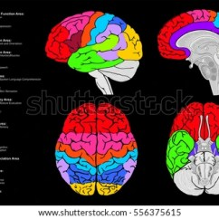 Brain Cross Section Diagram Ford Focus Engine Human Functional Infographic Including All Stock Vector 556375615 - Shutterstock
