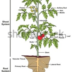 Dicot Leaf Labeled Diagram Smoke Detector Wiring Pdf Plant Structure Infographic Including All Stock Illustration 698784838 - Shutterstock