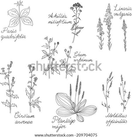 Set Line Drawing Herbs Latin Names Stock Illustration