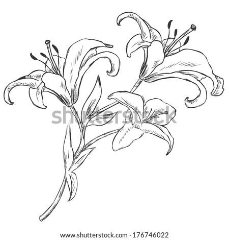 Vector Sketch Illustration Lily Stock Vector 176746022