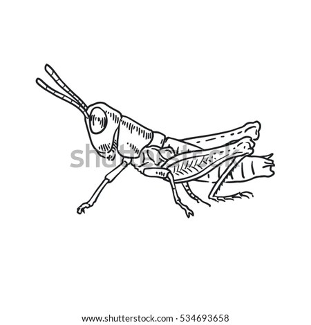 Grasshopper Sideview Bug Cricket Line Hand Stock Vector