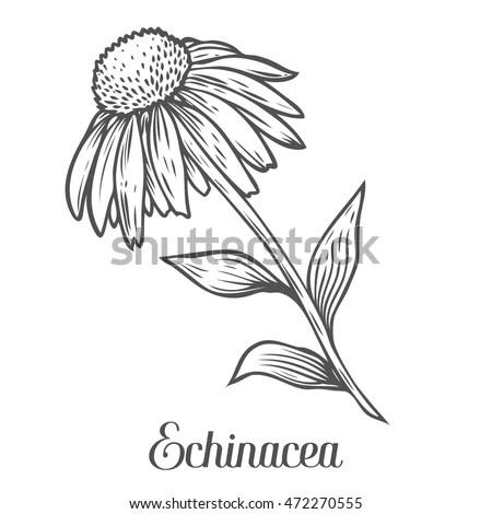 Echinacea Flower Leaf Plant Black Isolated Stock Vector