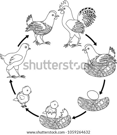 Chicken Life Cycle Stages Chicken Growth Stock Vector