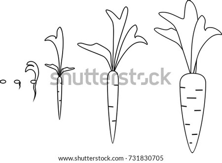 Carrot Growth Stages Coloring Pages Stock Vector 731830705