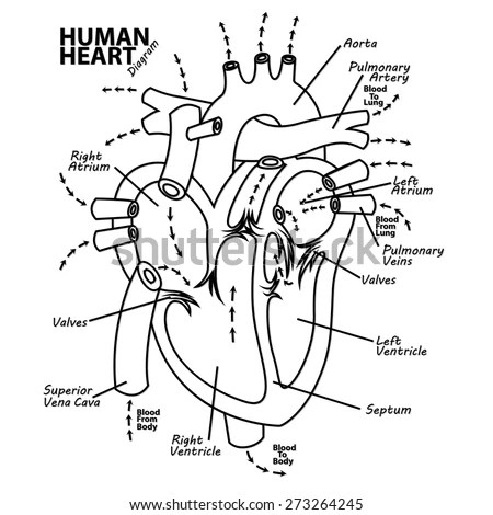 Human Heart Diagram Anatomy Stock Vector (Royalty Free