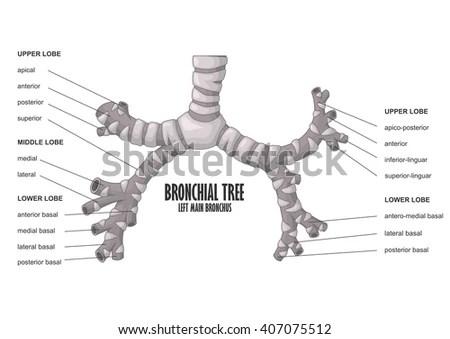 Detailed Respiratory System Diagram Detailed Brain Diagram