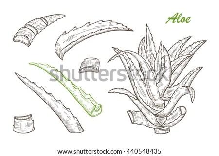 Hand Drawn Engraving Style Aloe Vera Stock Vector