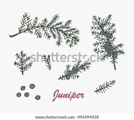 Medicinal Plants Set Hand Drawn Juniper Stock Vector