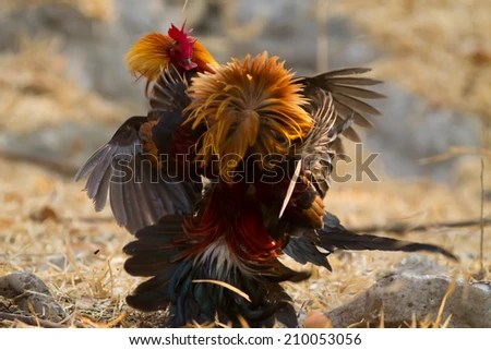 Fighting Cock Stock Images RoyaltyFree Images Vectors