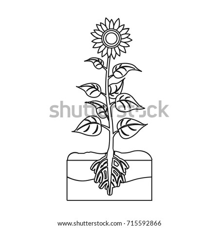 Sunflower Roots Stock Images, Royalty-Free Images