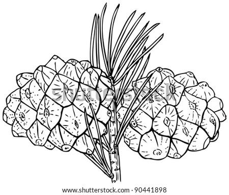 Buddha S Hand Citron Bush