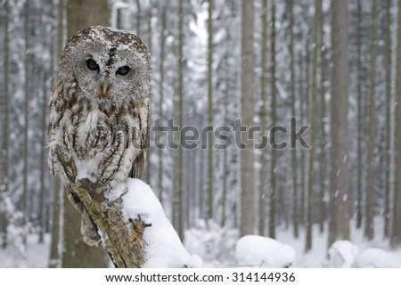 Cute Barn Tyto Owl Wallpaper Owl Stock Photos Images Amp Pictures Shutterstock