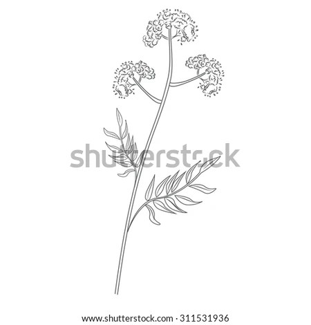 Valerian Root Stock Photos, Royalty-Free Images & Vectors