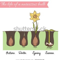 Plant Diagram Clip Art Combo Switch Outlet Wiring Spring Flower Bulb Time Line How Stock Vector 336919628 - Shutterstock