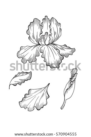 Iris Flower Isolated On White Background Stock Vector
