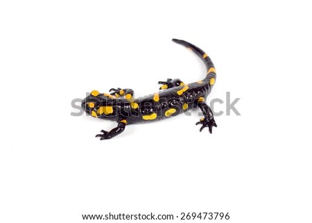 fire salamander bright colored amphibian and poisonous