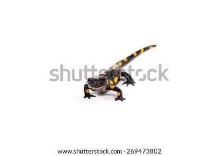 Eastern Lubber Grasshopper White Background Stock Photo