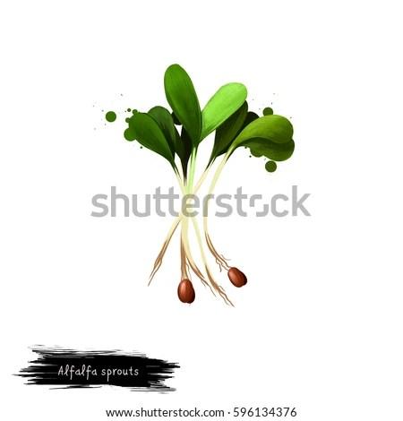 alfalfa sprouts stock royalty-free