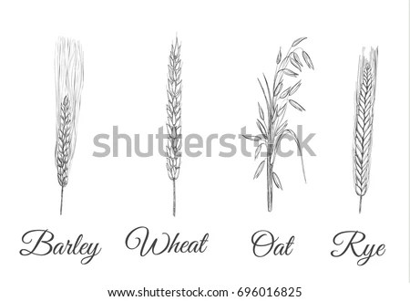 Grain Crops Set Collection Cereal Oats Stock Vector